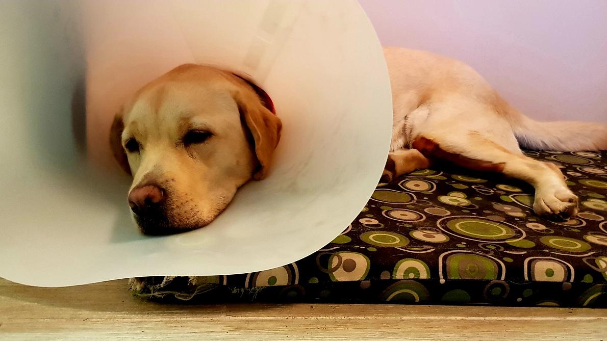 Sárga szőrű Labrador Retriever, matracon fekszik, nyakörvéhez egészségügyi gallér van erősítve.